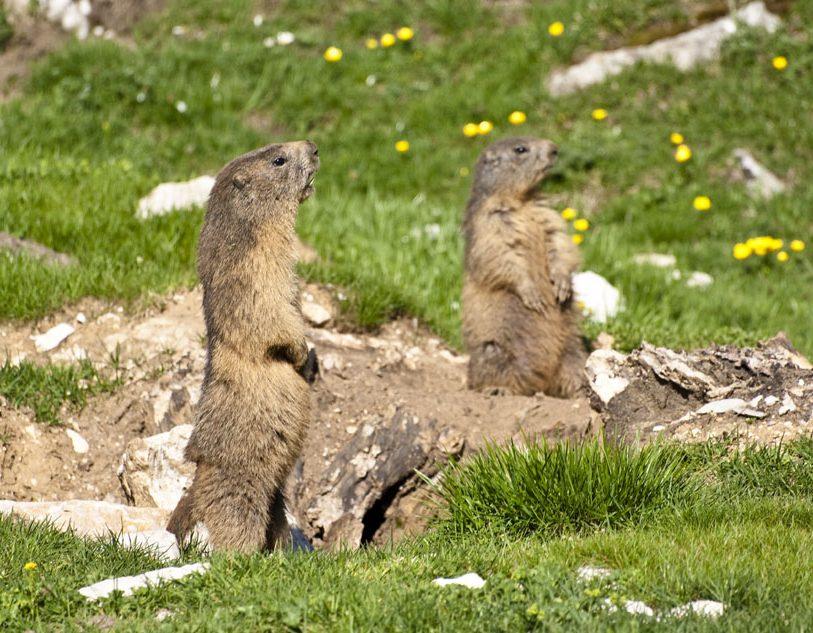 Les marmottes de Pre Peyret, porte du Vercors